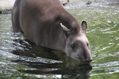 Tapir Going for a Swim Royalty Free Stock Photo