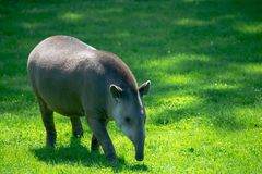 Tapir on grass meadow royalty free stock image