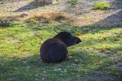 Tapir on grass Stock Photo