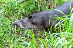 Tapir i ecuadorianen Amazonia Arkivfoton
