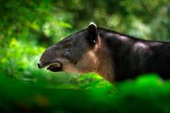 Tapir i natur Tapir för Central America Baird ` s, Tapirusbairdii, i grön vegetation Närbildstående av det sällsynta djuret från  arkivbild