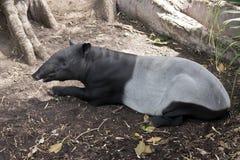 Tapir jest odpoczynkowy Obrazy Royalty Free