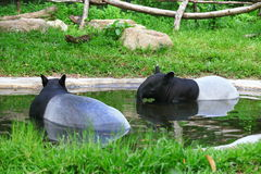 Tapir. A tapir is a large herbivorous mammal, similar in shape to a pig, with a short, prehensile snout Stock Photos