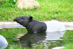 Tapir. A tapir is a large herbivorous mammal, similar in shape to a pig, with a short, prehensile snout. Tapirs inhabit jungle and forest regions of South Royalty Free Stock Photos
