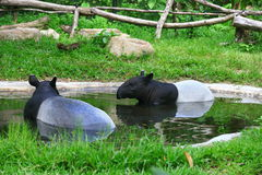 Tapir. A tapir is a large herbivorous mammal, similar in shape to a pig, with a short, prehensile snout. Tapirs inhabit jungle and forest regions of South Royalty Free Stock Images