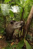 Tapir in Madidi  National Park. A tapir is a large, herbivorous mammal, similar in shape to a pig, with a short, prehensile nose trunk National Park in the Royalty Free Stock Image