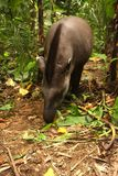 Tapir in Madidi  National Park. A tapir is a large, herbivorous mammal, similar in shape to a pig, with a short, prehensile nose trunk National Park in the Royalty Free Stock Photography