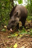 Tapir in Madidi  National Park. A tapir is a large, herbivorous mammal, similar in shape to a pig, with a short, prehensile nose trunk National Park in the Stock Photography