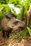 Tapir in Madidi  National Park. A tapir is a large, herbivorous mammal, similar in shape to a pig, with a short, prehensile nose trunk National Park in the Stock Image