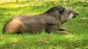 Tapir. A magnificent specimen of tapir Royalty Free Stock Photo