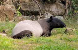 Tapir Royalty Free Stock Photo