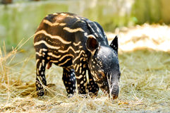 Tapir malayan do bebê Fotografia de Stock