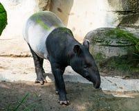 Tapir Malayan ou de tapir do asiático posição fotografia de stock