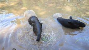 Tapir Malayan que come o alimento na lagoa. video estoque