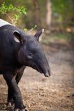 Tapir malayo, también llamado asian Tapir Fotografía de archivo libre de regalías