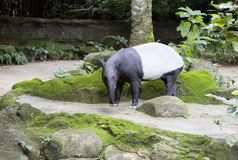 Tapir. Malaysian tapir. Tapir is an animal herbivore. It`s quite a handsome animal that has strong legs, a short tail and a slender neck Royalty Free Stock Photo