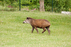 Tapir mammal at the zoo Stock Photos