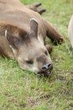 Tapir mammal at the zoo Stock Image