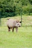 Tapir mammal at the zoo Royalty Free Stock Images