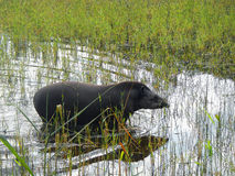 Tapir in the marsh Royalty Free Stock Photo