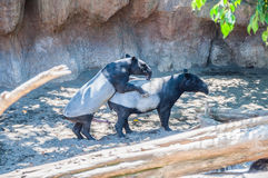 Tapir mating Royalty Free Stock Photo
