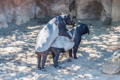 Tapir mating Stock Photography