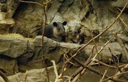 Tapir-Mutter und Schätzchen-Familie Lizenzfreie Stockbilder