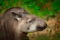 Tapir in nature. South American Tapir, Tapirus terrestris, in green vegetation. Close-up portrait of rare animal from Brazil. Wild Stock Photo