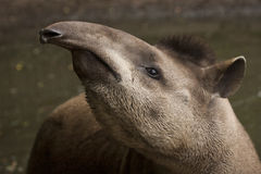 Tapir. A portrait of a curious tapir stock images
