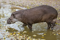 Tapir portrait while looking at you Royalty Free Stock Photos