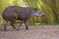 Tapir portrait while looking at you Stock Image