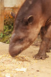 Tapir portrait Stock Photography