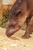 Close Up Of An Reddish Brown Female Tapir Stock Photography