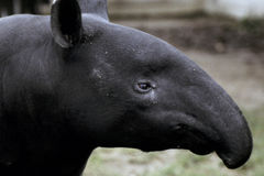 Tapir profile. Malayan Tapir Royalty Free Stock Photography