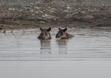 Tapir que toma un baño en Corcovado Fotografía de archivo libre de regalías
