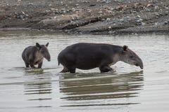 Tapir que toma un baño en Corcovado con la cría Fotos de archivo libres de regalías