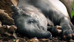 Tapir Rests In Jungle stock video