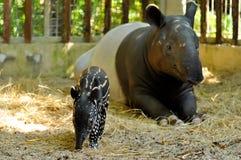Tapir rodzina Zdjęcie Stock