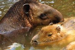 Tapir. Stock Image