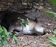 A Tapir sleeping under a tree. In a shaded area royalty free stock photo