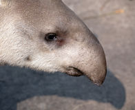 Tapir snout closeup portrait Stock Photography