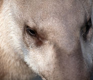 Tapir snout closeup portrait Stock Images