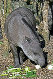 Tapir 2 Royalty Free Stock Images