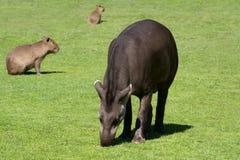 Tapir sud-américain Photo libre de droits