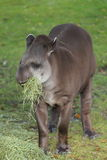Tapir sud-américain Photographie stock libre de droits