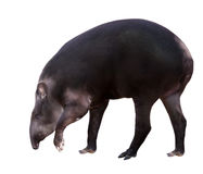 Tapir sud-américain. D'isolement au-dessus du blanc Photos stock