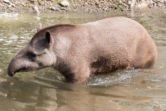 Tapir sud-américain - plein tir Photos stock