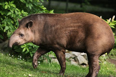 Tapir sud-américain (terrestris de Tapirus) Photographie stock libre de droits