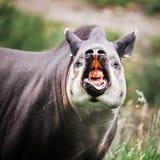 Tapir suramericano Fotografía de archivo