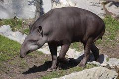 Tapir suramericano Fotos de archivo
